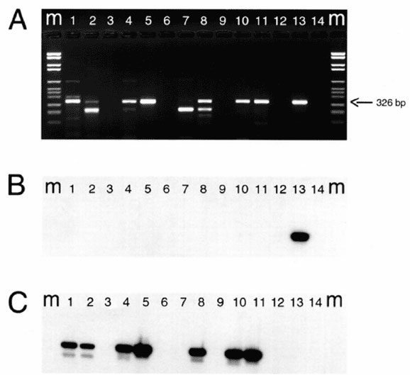 Results of ethidium bromide staining (panel A) and corresponding Southern hybridization (panels B and C) of RT-PCR products of eight calf herd (CH) samples (A) M= molecular mass marker, lane 1: CH124; lane 2: CH125; lane 3: water; lane 4: CH126; lane 5: CH138; lane 6: water; lane 7: CH139; lane 8: CH145; lane 9: water; lane 10: CH156; lane 11: CH176; lane 12: water; lane 13: human NLV positive control (5); lane 14: water. For Southern blot hybridizations, a set of probes used to detect NLVs in h