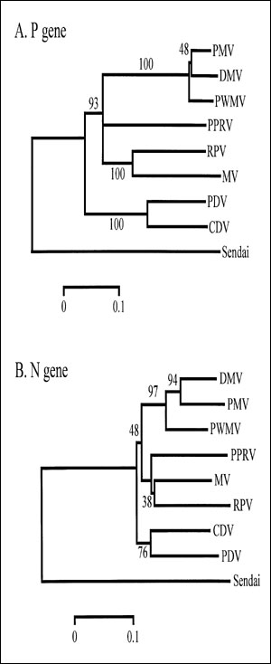 Neighbor-joining analyses of partial P and N gene sequences with branch distances as shown. Analyses were performed with MEGA, version 1.01 (13). For the P gene, a 378 nucleotide fragment was amplified (7,8) using the following primers: 5'-CGGAG ACCGAGTCTTCATT-3' (forward) and 5'-ATTGGGTTGC ACCACTTG TC-3' (reverse), corresponding to nucleotides 2190 to 2567 as aligned to the measles virus P gene (Edmonston strain). For the N gene, a 230-nucleotide fragment was amplified using the following prime