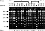 Thumbnail of Sample pulsed-field gel electrophoresis (PFGE) gel of representative Salmonella blockley isolates, indicating common and unique DNA fingerprints. Electrophoresis was through 1% agarose/0.5 x TBE, in a CHEF DRIII apparatus (BioRad Laboratories), at 14° C with a 120° switch angle and a run time of 20 hours, with a linear ramp of switching times from 5 to 32 seconds. Gels were stained with 0.5 mg/L ethidium bromide and documented under UV illumination by the EasyWin32 system (HeroLab,