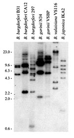 Thumbnail of Restriction fragment length polymorphism pattern analysis of the rep or bdr genes of the Lyme disease spirochetes. Total DNA, isolated from Borrelia cultures, was digested with Xba1, fractionated by electrophoresis, and transferred onto membranes for hybridization. Hybridization was performed by the bdrAB-R1 oligonucleotide (46). The species and isolates analyzed are indicated above each lane. MW markers in kb are indicated.