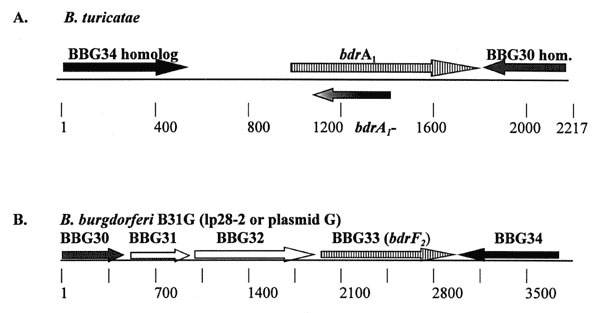 General organization of two bdr loci in Borrelia turicatae and B. burgdorferi. The gene arrangement depicted for B. turicatae was determined through cloning and sequence analysis of a 2,217 base-pair XbaI restriction fragment. The arrangement for the bdr-carrying locus of B. burgdorferi was previously determined through the sequencing of the B. burgdorferi B31 genome (30). The arrows indicate the direction of transcription. Genes exhibiting homology are indicated by similar shading or hatch mark