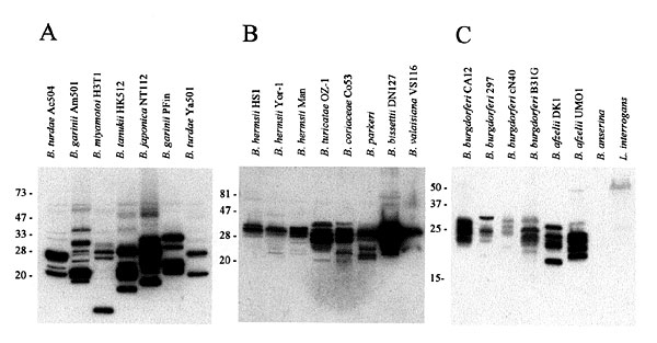 Immunoblot analyses demonstrating the variation in Bdr protein expression in Borrelia species and isolates. Bacteria were cultivated and prepared for analysis as described in the methods. Proteins were fractionated by SDS-PAGE, immunoblotted and screened with anti-BdrF1-B.afzelii DK1 antisera. The species and isolates analyzed are indicated above each lane in panels A, B and C. The migration positions of the protein standards are indicated in each panel.