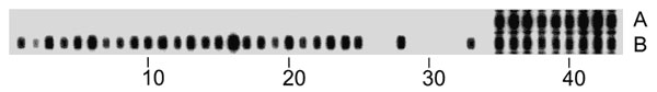 Representative spoligotype patterns of the Beijing (A) and the Vietnam (B) genotypes. Numbers indicate the spacer oligonucleotide sequences, present on the reversed line blot, which are derived from reference Mycobacterium tuberculosis strain H37Rv and M. bovis BCG vaccine strain P3.