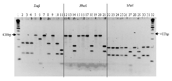 Polymerase chain reaction/restriction fragment length polymorphism of the citrate synthase gene of isolates from cattle, deer, and elk, with TaqI, HhaI, and MseI endonucleases. Lanes 1 and 32, standard 100-bp molecular ladder; lanes 2, 12, and 22, cattle isolate; lanes 3 to 7, 13 to 17, and 23 to 27, deer isolates; lanes 8 to 10, 18 to 20, and 28 to 30, elk isolates; lanes 11, 21, and 31, B. henselae strain.
