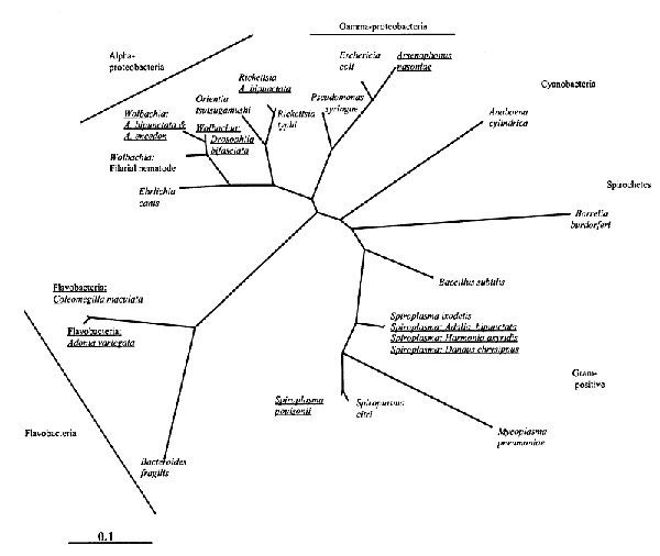 Phylogenetic relationship of male-killers and a selection of other eubacteria inferred from 16S rDNA sequences, using maximum likelihood implemented on PAUP*. The male-killing bacteria (underlined) have been labeled with the name of their insect host if a species name is not available. The relationships of the major bacterial groups are uncertain.