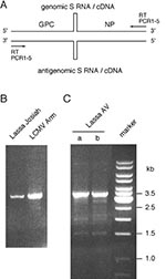 Thumbnail of Reverse transcription (RT) and polymerase chain reaction (PCR) amplification of full-length S RNA. (A) Position of the RT and PCR primers at the termini of S RNA. The stem-loop structure in the intergenic region is schematically shown. (B) Amplified S RNA of Lassa Josiah and LCMV Armstrong virus separated in ethidium bromide-stained agarose gel. S RNA was isolated from supernatant of infected cells, and PCR was done with primers PCR2-4. (C) S RNA of Lassa AV was amplified in two RT-