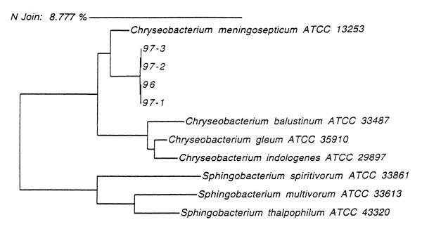 Dendogram derived from the 16S rRNA gene sequence analysis, showing the phylogenetic relationships among the four atypical strains of Chryseobacterium meningosepticum (96, 97-1, 97-2, 97-3), C. meningosepticum strain ATCC 13253T, and several closely related bacteria.