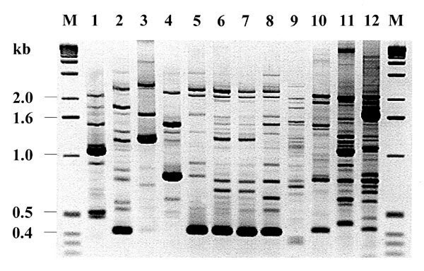 Random amplified polymorphic DNA fingerprinting (RAPD) types generated by arbitrarily primed PCR. Lanes 5-8 show results for the four index strains of the atypical Chryseobacterium meningosepticum, 96, 97-1, 97-2, and 97-3, respectively; lanes 1-4, four clinical isolates of C. meningosepticum from Canada; lanes 9-10, two clinical isolates of B. cepacia; lane 11, P. aeruginosa strain P1; and lane 12, clinical isolate of K. pneumoniae. Lane M shows the 1-kb DNA ladder.
