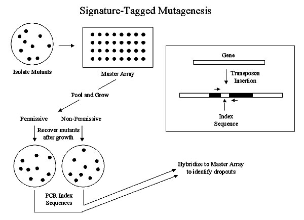 Signature-tagged mutagenesis. The box on the right shows a transposon insertion, indicating the index region and location of polymerase chain reaction (PCR) primers that amplify the segment unique to each transposon.