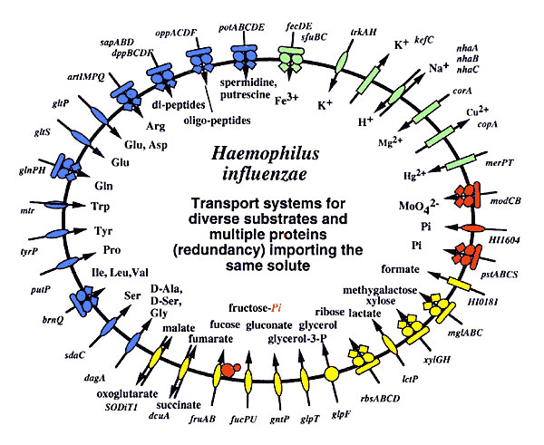 Comparison of the transport proteins in two human respiratory pathogens, Haemophilus influenzae and Mycobacterium pneumoniae.