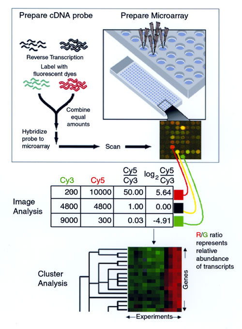 Measuring relative gene expression by using DNA microarrays. Capillary printing is used to array DNA fragments onto a glass slide (upper right). RNA is prepared from the two samples to be compared, and labeled cDNA is prepared by reverse transcription, incorporating either Cy3 (green) or Cy5 (red)(upper left). The two labeled cDNA mixtures are mixed and hybridized to the microarray, and the slide is scanned. In the resulting pseudocolor image, the green Cy3 and red Cy5 signals are overlaid--yell