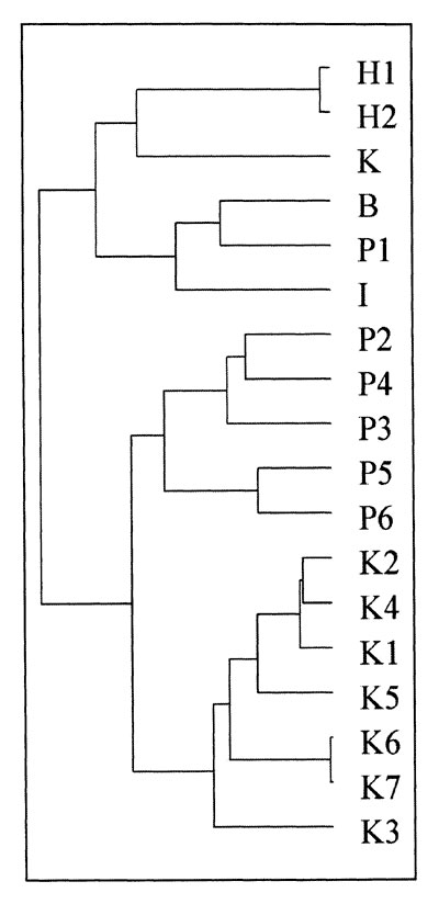 Dendogram showing genetic relatedness of Salmonella Typhi from Kenya and Asia. H1 and H2: MDR S. Typhi from Hong Kong; K: MDR S. Typhi from Kuwait; B: MDR S. Typhi from Bangladesh; P1-P6: MDR S. Typhi from Pakistan, I: MDR S. Typhi from India. K1-K5: sensitive S. Typhi from Kenya; K6 and K7: MDR S. Typhi from Kenya.