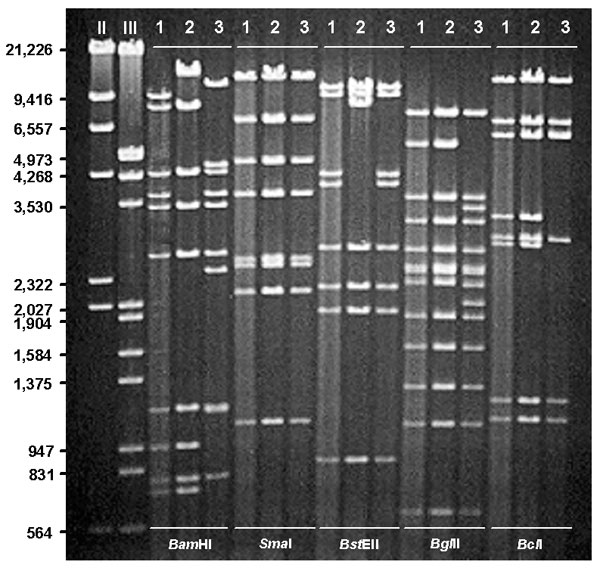 Restriction profiles of representative human adenovirus (Ad) genome types Ad7b (1), Ad7d2 (2), and Ad7h (3) after digestion with selected enzymes, BamHI, Sma I, BstEII, BglII, and BcII. DNA markers II (λ HindIII) and III (λ HindIII/EcoRI).