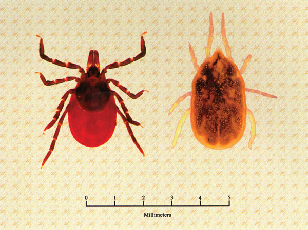 Dorsal view of a female Ixodes scapularis (family Ixodidae, hard ticks), a vector of Borrelia burgdorferi (left), and a female Ornithodoros hermsi (family Argasidae, soft ticks), the vector of B. hermsii (right).