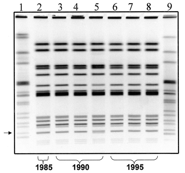 Gel showing the XbaI pulsed-field gel electrophoresis (PFGE) pattern of each isolate. Lane 1 and 9 show the pattern of the Salmonella strain used as a size standard. Lane 2 shows the pattern of MR-DT104 strain isolated in 1985. Lanes 3-5 show the patterns of MR-DT104 isolates obtained in 1990. Lanes 6-8 show the PFGE patterns of MR-DT104 isolates obtained in 1996.