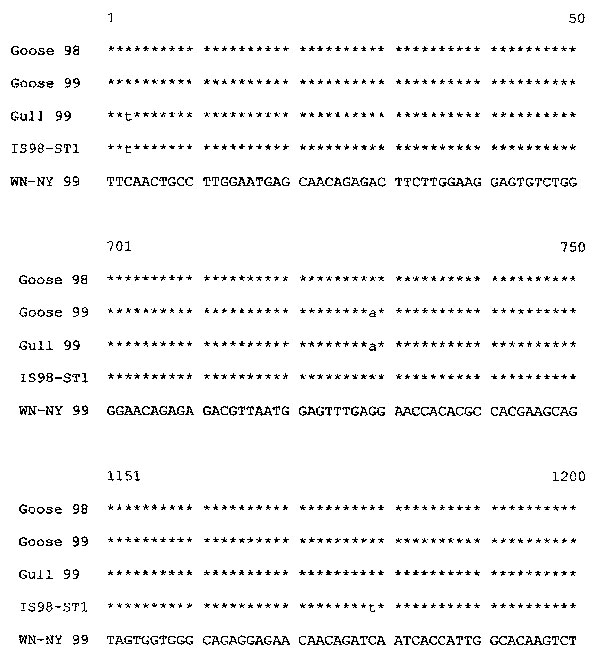 Abbreviated alignment of E gene sequences of Israeli isolates Goose 98, Goose 99, White-eyed gull 99, and IS98-ST1 with the consensus sequence of WN-NY99. The nucleotide numbers correspond to their location in the envelope gene.