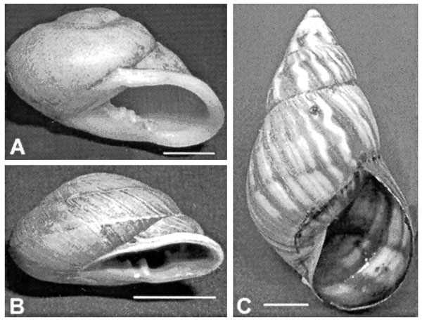 Three species of land snails collected in Jamaica and examined for Angiostrongylus larvae. A. Thelidomus asper. B. Orthalicus jamaicensis. C. Dentellaria sloaneana. Scale bar = 1 cm.