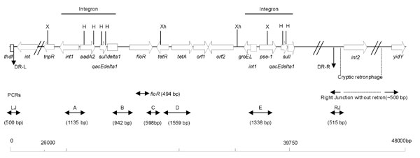 Genetic organization of the antibiotic-resistance gene cluster of SGI1 of Salmonella enterica serotype Typhimurium DT 104. DR-L and DR-R are the left and right direct repeats, respectively, bracketing SGI1. Polymerase chain reactions (PCRs) used to assess the genetic organization of the antibiotic-resistance genes (PCRs floR, A, B, C, D, and E) and the SGI1 junctions to the chromosome (PCRs LJ and RJ for left and right junctions, respectively) are indicated. Abbreviations for restriction sites: X, XbaI; H, HindIII; Xh, XhoI.