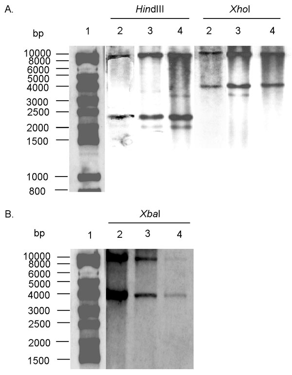 A. Southern blot hybridization with the XbaI probe (Figure 1) containing all antibiotic-resistance genes of HindIII- and XhoI-digested genomic DNAs of Salmonella enterica serotype Typhimurium DT 104 strain BN9181 (lanes 2), serotype Agona strain 959SA97 (lanes 3), and serotype Paratyphi B strain (lanes 4). Lane 1: DNA ladder. B. Southern blot hybridization with the p1-9 probe of XbaI-digested genomic DNAs of S. enterica serotype Typhimurium DT 104 strain BN9181 (lanes 2), serotype Agona strain 959SA97 (lanes 3), and serotype Paratyphi B strain (lanes 4). Lane 1: DNA ladder.