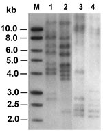 Thumbnail of Ribotyping profiles of the two ceftriaxone-resistant Salmonella isolates generated by digestion of chromosomal DNA with SphI and PstI (lanes 1 and 2) or EcoRI (lanes 3 and 4). Lanes 1 and 3, isolate ST275/00; lanes 2 and 4, isolate ST595/00; lane M, 1-kb DNA ladder (Promega Corp., Madison, WI).