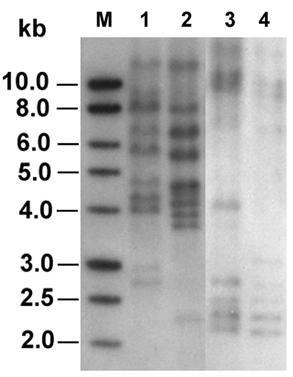 Ribotyping profiles of the two ceftriaxone-resistant Salmonella isolates generated by digestion of chromosomal DNA with SphI and PstI (lanes 1 and 2) or EcoRI (lanes 3 and 4). Lanes 1 and 3, isolate ST275/00; lanes 2 and 4, isolate ST595/00; lane M, 1-kb DNA ladder (Promega Corp., Madison, WI).