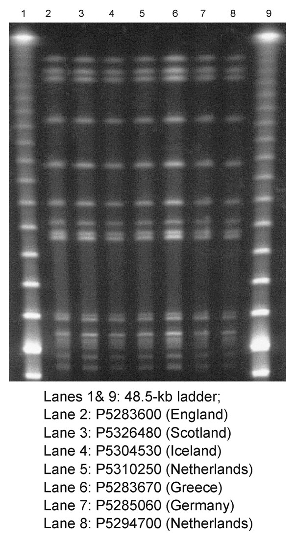 Pulsed-field gel electrophoresis profiles of XbaI-digested genomic DNA from isolates of Salmonella enterica serotype Typhimurium DT204b.