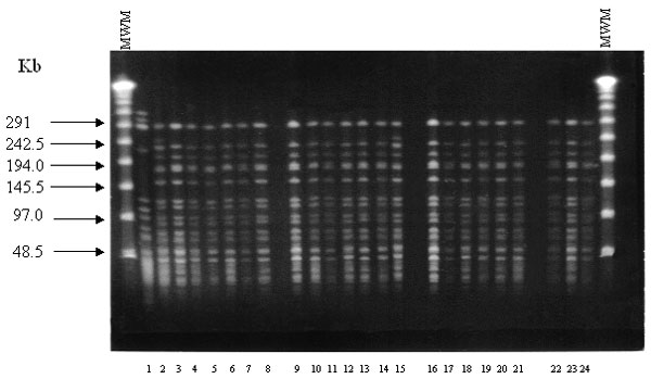 Pulsed-field gel electrophoresis restriction fragment patterns of SmaI-digested genomic DNA obtained from glycopeptide-resistant Enterococcus faecium isolated at San Vicente de Paul Hospital, Bogotá, Colombia. Lane 1: a susceptible isolate of E. faecium; lane 2–24: Restriction patterns of the 23 VanA-type E. faecium. MWM, molecular weight marker.