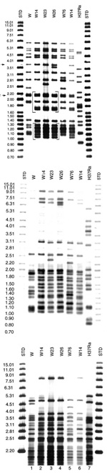 Thumbnail of Southern blot hybridization of Mycobacterium tuberculosis isolates. A) IS6110-3' was used as a hybridization probe. The bracketed pattern motives regions are characteristic of the W14 family. A1 and NTF denote the bands corresponding to the IS6110 insertions in the dnaA-dnaN region and the NTF locus, respectively. Lanes 1 and 9 are standard markers; lane 2: W-MDR from New York City (W index strain); lane 3, 4, 5 and 7: members of the W14 family; lane 6: W76 and lane 8: laboratory co