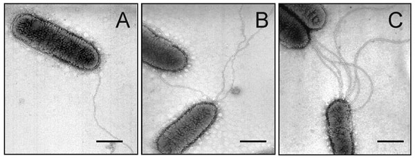 Electron micrographs showing expression of flagella by SMDP92. Stenotrophomonas maltophilia strains can have one (A) to several flagella (B,C). The flagella on these bacteria show a polar disposition. Bars, 0.5 µm