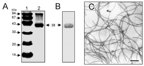Analysis of flagella purified from SMDP92. (A) sodium dodecyl-sulfate polyacrylamide gel electrophoresis of purified flagella, showing the 38-kDa flagellin subunit. Lane 1, molecular weight standards; lane 2, purified SMFliC. (B) Immunoblotting and reactivity of purified flagella with anti-SMFliC antibodies. The 38-kDa flagellin is indicated by an arrow. (C) Electron microscopy of purified flagella visualized by negative staining. Bar, 0.37 μm.