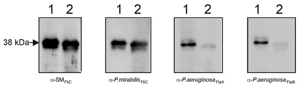 Reactivity of Stenotrophomonas maltophilia flagellin with different antibodies. Lane 1, SMDP92 strain; lane 2, ATCC 13637. Blots containing whole cells extracts of SMDP92 and ATCC 13637 were reacted with antibodies against SMFliC, flagella of Proteus mirabilis, and anti-FlaA and anti-FlaB of Pseudomonas aeruginosa.
