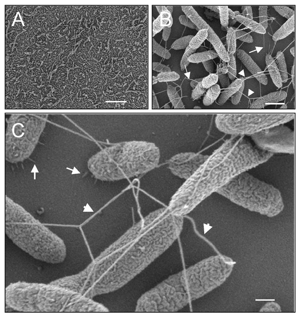 Ultrastructural analysis of Stenotrophomonas maltophilia adhering to plastic. (A) Scanning electron micrographs showing the tight adhesion of SMDP92 to the plastic surface. (B) Structures resembling flagella seem to be protruding and interconnecting bacteria (arrowheads) or connecting bacteria to the plastic (arrows). (C) In addition to the flagellalike filaments (arrowheads), high-power magnification shows the presence of thin fibrillar structures connecting bacteria to the abiotic surface. Bars: A 10 μm, B 1 μm, C 2 μm.