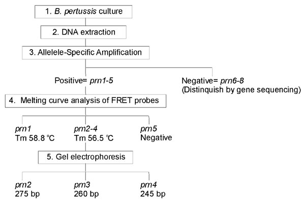 Workflow for typing prn alleles. The allele-specific amplification (ASA) assay (step number 3) and the fluorescence resonance energy transfer (FRET) probe assay (step number 4) each require approximately 1 hour.