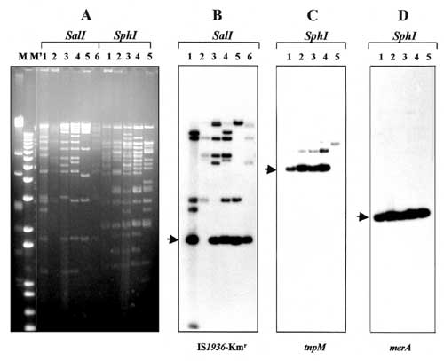 Restriction enzyme analysis and detection of common genetic elements in IncFI plasmids. Numbers above each lane indicate plasmid reference numbers as defined (Table). M and M' are HindIII-digested lambda DNA and 1-kb Plus DNA ladder (GibcoBRL), respectively. A: agarose (0.8%) gel electrophoresis in 1x Tris-borate-EDTA buffer of plasmids digested with restriction endonucleases SalI and SphI. DNA was stained with ethidium bromide and visualized under UV light. B: Southern blot hybridization of Sal