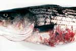 Thumbnail of Skin ulcers typical of mycobacteriosis in striped bass (Morone saxatilis) from the Chesapeake Bay.