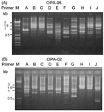 Thumbnail of Random amplified polymorphic DNA (RAPD) patterns generated by arbitrarily primed polymerase chain reaction for pandrug-resistant Acinetobacter baumannii (PDRAB) isolates using two primers OPA-05 (A) and OPA-02 (B). Lane M, molecular size marker. Lanes A to J, RAPD patterns 1 to 10. Isolates of PDRAB belonging to pulsotypes A to J exhibit RAPD pattern 1–10, respectively.