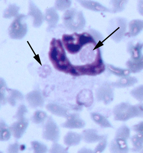 Multiple morulae consistent with Ehrlichia ewingii in a neutrophil from fawn 81 experimentally injected with pooled whole blood from two wild white-tailed deer (Giemsa stain, 100X).