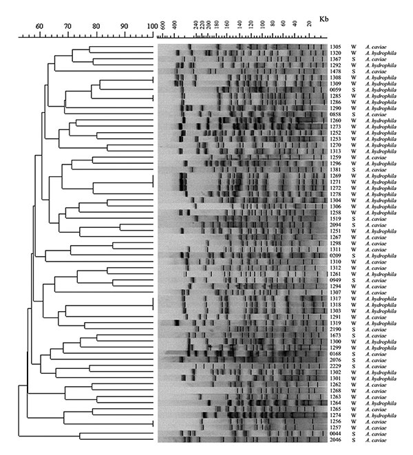 Pulsed-field gel electrophoresis patterns and similarity dendrogram of genomic DNA from Aeromonas hydrophila and A. caviae isolates from diarrheic stool (S) and groundwater (W). The number refers to the isolate number. DNA molecular weight scale derived from Staphylococcus aureus NCTC 8325.