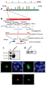 Thumbnail of West Nile virus capsid (WNV-cp)-DJY protein expression induces apoptosis. Nuclear condensation was observed in HeLa cells transfected with pcWNV-Cp-DJY (a), a positive control pBax (b), or a negative control, pcDNA3.1 (c), under a 4,6-diamidino-2-phenylidole (DAPI) filter (magnification: 200X). Light microscopic observation on pcWNV-Cp-DJY (d) or pcDNA3.1 (e) plasmid transfected RD cells were examined in semithin sections stained with toluidine blue (magnification for d and e: 400X). Ultramicroscopic image of apoptotic cells were photographed from pcWNV-Cp-DJY transfected RD cells (f). DNA fragmentation in WNV capsid–expressing cell lines was examined by terminal desoxyriboxyl-desoxyriboxyl trasferase–mediated DVTP nick-end labeling (TUNEL) assay in HeLa (g), HEK 293 (i), and RD cells (k), and compared with DNA fragmentation from pcDNA3.1-transfected HeLa cells (m). Nuclear staining in HeLa (h), HEK 293 (j), and RD cells (l) were observed by using a DAPI filter and compared with control HeLa cells (n) (magnification for g through n: 400X). Cell membrane morphology changes were examined by annexin V staining/flow cytometry by using HeLa cells transfected with pcWNV-Cp-DJY or control pcDNA3.1 plasmids (o). The human neuroblastoma cell line SH-SY5Y was transfected with Bax as a positive control (p), pcWNV-Cp (r), or control plasmid (t) and examined by TUNEL assay. To visualize nuclear staining, cells transfected with pBax, pcWNV-Cp-DJY (q and s, respectively) or pcDNA3.1 (u) were stained with DAPI and observed using appropriate filters (magnification: 400X).