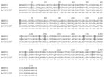 Thumbnail of Comparison of the partial amino acid sequences of Human Metapneumovirus (HMPV) isolates 1 (recovered in 1998) and 2 (recovered in 1999) for the fusion protein (residues 1 to 253). The sequences were aligned with the reference sequence from the Netherlands (GenBank accession no. AF371337). Asterisks denote identical residues; the shaded boxes highlight different amino acids between the two HMPV isolates from this study.