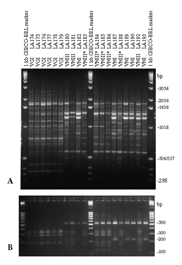 Polymerase chain reaction fingerprints generated with the primer M13 (3A) and URA5 gene restriction frgement length polymorphism (RFLP) profiles identified via double digest of the gene with Sau96I and HhaI (3B) obtained from the Spanish clinical, veterinary, and environmental Cryptococcus neoformans isolates (VNIII correspond to the seven-band URA5 RFLP pattern and VNIII* correspond to the six-band URA5 RFLP pattern).