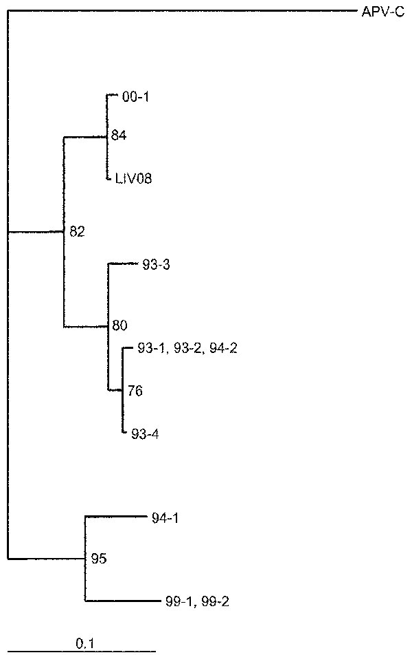 The phylogenetic relationship of human metapneumovirus from Liverpool (LIV08) to those from Holland and to avian pneumovirus. The divergence bar is shown at the bottom of the figure.