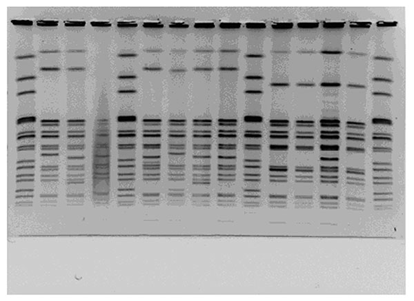 Pulsed-field gel electrophoresis patterns of XbaI-digested multidrug-resistant Salmonella Newport. Lane 2, pattern MA-JJP0036; lane 3, pattern MA-JJP 0027; lane 6, pattern MA-JJP0062; lane 7, pattern MA-JJP0077; lane 8, pattern MA-JJP0089; lane 9, pattern MA-JJP0034; lane 11, pattern MA-JJP0050; lane 13, pattern MA-JJP0070.