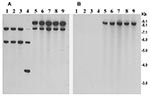 Thumbnail of Southern hybridization analysis of rstR genes in toxigenic Vibrio cholerae O139 strains isolated from the recent epidemic in Bangladesh (lanes 5–9) and in previously isolated O139 strains from 1992 to 1998 (lanes 1–4). Genomic DNA was digested with BglI and probed with the rstRET probe (A) and with the rstRCal probe (B). Numbers indicating molecular sizes of bands correspond to 1-kb DNA ladder (BRL) used as molecular size markers.