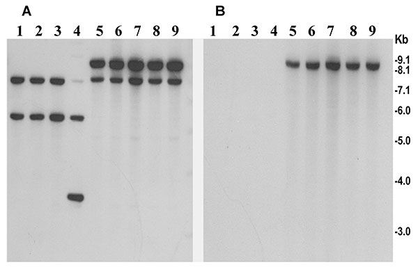 Southern hybridization analysis of rstR genes in toxigenic Vibrio cholerae O139 strains isolated from the recent epidemic in Bangladesh (lanes 5–9) and in previously isolated O139 strains from 1992 to 1998 (lanes 1–4). Genomic DNA was digested with BglI and probed with the rstRET probe (A) and with the rstRCal probe (B). Numbers indicating molecular sizes of bands correspond to 1-kb DNA ladder (BRL) used as molecular size markers.