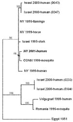 Thumbnail of Phylogenetic relationships among West Nile virus strains. Sequence data from the present case are shown in italics. The tree is based on the 1,648-bp fragment encoding the preM, M, and part of the 5′-E gene. Numbers at the nodes are bootstrap confidence estimates based on 1,000 replicates.