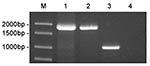 Thumbnail of Amplification of bp26 from marine mammal and terrestrial strains of Brucella. The amplification products were electrophoresed on a 1% agarose gel and stained with ethidium bromide. Lane 1, strain 01A09163; lane 2, strain 85A05748; lane 3, B. abortus ATCC 23448; lane 4, no template control. DNA ladder is shown in Lane M.