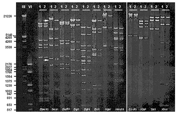 DNA fragment patterns obtained with selected restriction enzymes of representative outbreak (1) and community (2) Ad7 isolates resolved by gel electrophoresis with ethidium bromide staining. DNA markers III (λHindIII/EcoRI) and VI (pBR328 BglI/HinfI) were run simultaneously to facilitate fragment size estimates. Arrows highlight loss of 2,500- and 12,700-bp fragments and corresponding appearance of a new 15,200-bp fragment for the outbreak strain (1) as compared with the expected pattern for Ad7