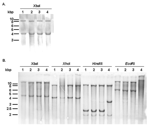 A) Southern blot hybridization with the p1-9 probe of XbaI-digested genomic DNAs of Salmonella enterica serovar Typhimurium DT104 strain BN9181 (lane 1), serovar Agona strain 959SA97 (lane 2), serovar Paratyphi B strain 44 (lane 3), and serovar Albany strain 7205.00 (lane 4). B) Southern blot hybridization of XbaI-, XhoI-, HindIII-, and EcoRI-digested genomic DNAs of serovar Typhimurium DT104 strain BN9181 (lanes 1), serovar Agona strain 959SA97 (lanes 2), serovar Paratyphi B strain 44 (lanes 3)