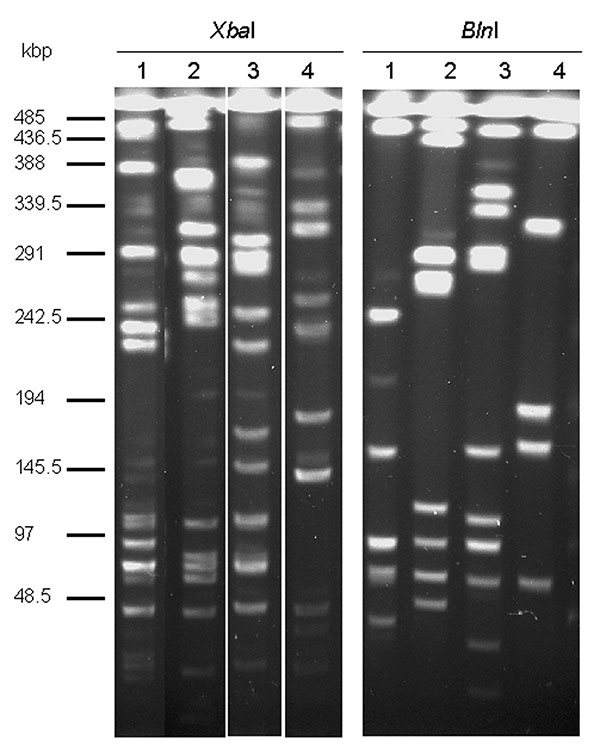 Macrorestriction analysis by pulsed-field gel electrophoresis of genomic DNAs cut by XbaI or BlnI of Salmonella enterica serovar Typhimurium DT104 strain BN9181 (lanes 1), serovar Agona strain 959SA97 (lanes 2), serovar Paratyphi B strain 44 (lanes 3), and serovar Albany strain 7205.00 (lanes 4).